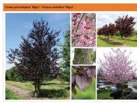 Слива растопыренная `Nigra`Prunus cerasifera `Nigra`,MLST Green Garth