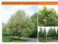 Черемуха обыкновенная `Schloss Tiefurt`Prunus padus `Schloss Tiefurt` Green Garth