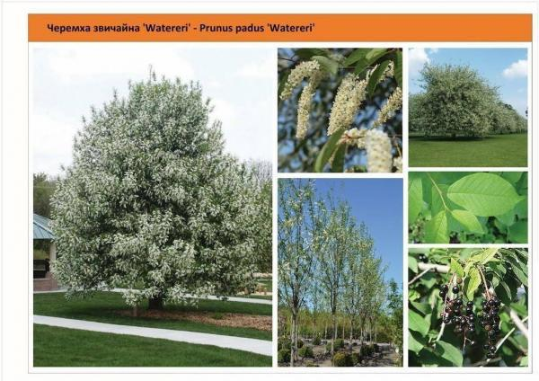 Черемуха обыкновенная `Watereri` Prunus padus `Watereri` Green Garth