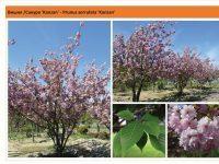 Вишня мелкопильчатая `Kanzan`Prunus serrulata `Kanzan` Green Garth
