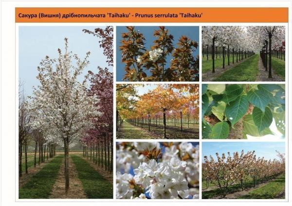 Вишня мелкопильчатая 'Tai Haku' Prunus serrulata 'Tai Haku' Green Garth