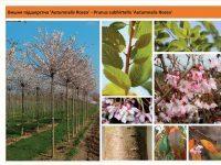 Вишня подшёрстная `Autumnalis Rosea`Prunus subhirtella `Autumnalis Rosea` Green Garth