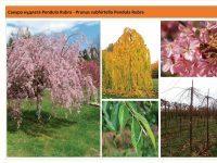 Вишня подшёрстная `Pendula Rubra`Prunus subhirtella `Pendula Rubra` Green Garth
