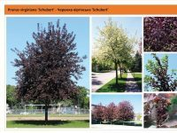 Черемуха виргинская `Schubert`Prunus virginiana `Schubert` Green Garth