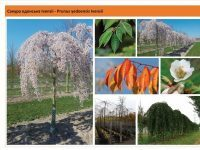 Вишня едонская 'Ivensii' Prunus yedoensis 'Ivensii' Green Garth