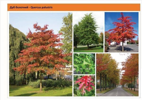 Дуб болотный Quercus palustris Green Garth