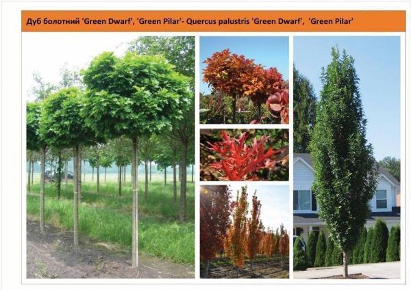 Дуб  болотный 'Green Dwarf','Green Pilar' Quercus palustris 'Green Dwarf','Green Pilar' Green Garth