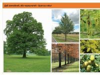 Дуб черешчатый Quercus robur Green Garth