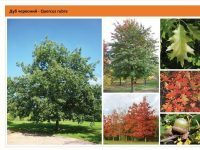 Дуб красный Quercus rubra Green Garth