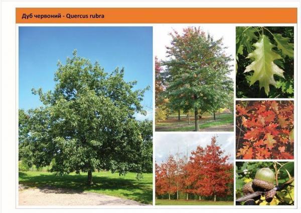Дуб красный Quercus rubra Green Garth