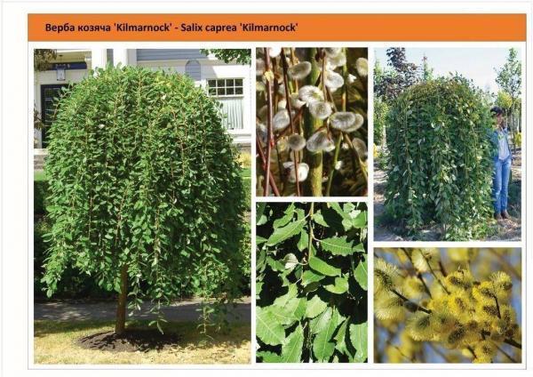 Ива козья 'Kilmarnock' Salix caprea 'Kilmarnock' Green Garth