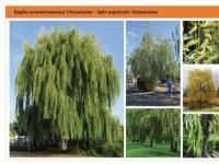 Ива золотистоволосистая 'Crysocoma' Salix sepulcralis 'Crysocoma' Green Garth