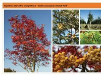 Рябина обыкновенная 'Joseph Rock' Sorbus aucuparia 'Joseph Rock' Green Garth