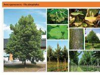 Липа крупнолистная Tilia platyphyllos Green Garth