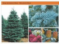 Пихта высокорослая 'Glauca' Abies procera 'Glauca' Green Garth
