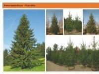 Ель обыкновенная (европейская) Picea abies Green Garth