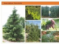 Ель сербская Picea omorika Green Garth
