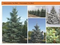 Ель колючая 'Fat Albert' Picea pungens 'Fat Albert' Green Garth