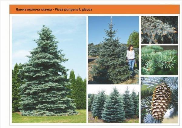 Ель колючая форма голубая Picea pungens f. Glauca Green Garth