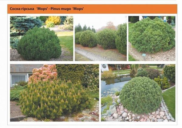 Сосна горная 'Mops' Pinus mugo 'Mops' Green Garth