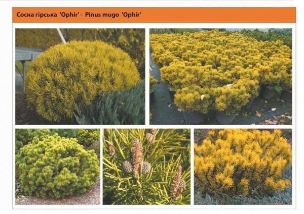 Сосна горная 'Ophir' Pinus mugo 'Ophir' Green Garth