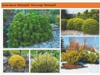 Сосна горная ' Wintergold' Pinus mugo 'Wintergold' Green Garth