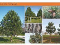 Cосна черная Pinus nigra nigra Green Garth