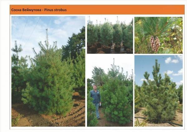Cосна Bеймутовая Pinus strobus Green Garth