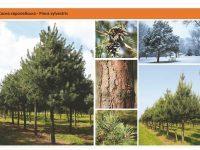Cосна обыкновенная Pinus sylvestris Green Garth