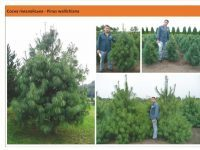 Cосна гималайская Pinus wallichiana Green Garth