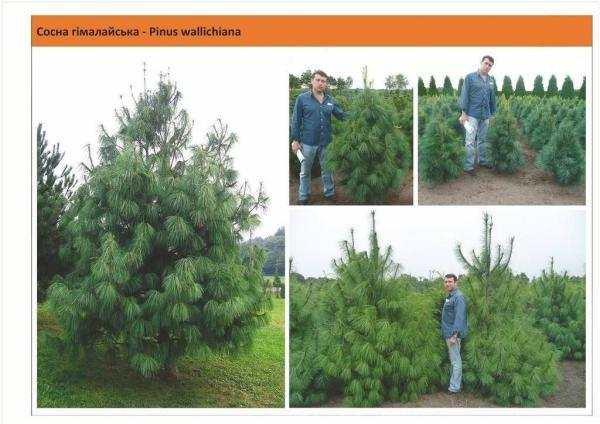Cосна гималайская Pinus wallichiana Green Garth