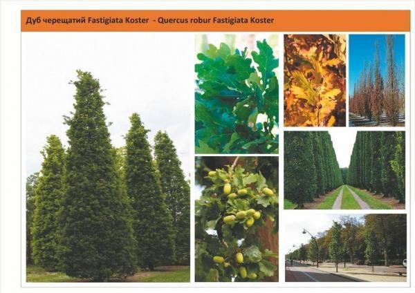 Дуб черешчатый 'Fastigiata Koster' Quercus robur 'Fastigiata Koster' Green Garth