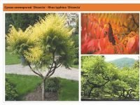 Сумах оленерогий `Dissecta`Rhus typhina `Dissecta` Green Garth