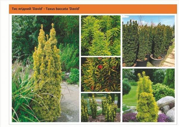 Tис ягодный `David`Taxus baccata `David` Green Garth
