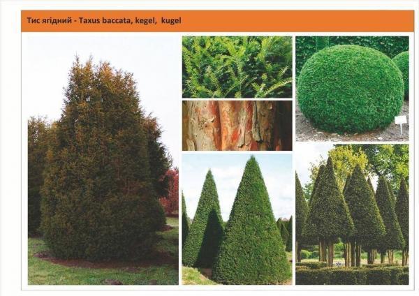 Tис ягодный конус, шар Taxus baccata, kegel, kugel Green Garth