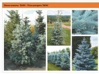 Ель колючая 'Edith' Picea pungens 'Edith' Green Garth