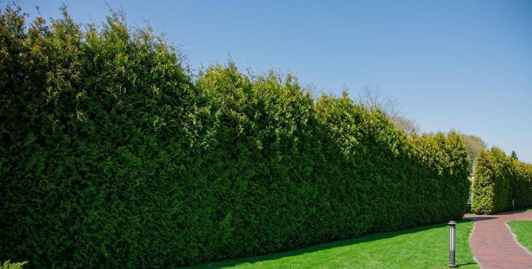 Функция живой изгороди и растения для живой изгороди