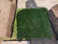 Мятликовый газон